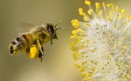 Kalendar cvetanja polena